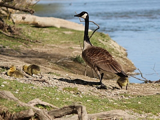 Mother and Baby Canada Geese